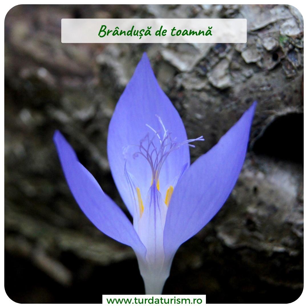 brandusa-toamna