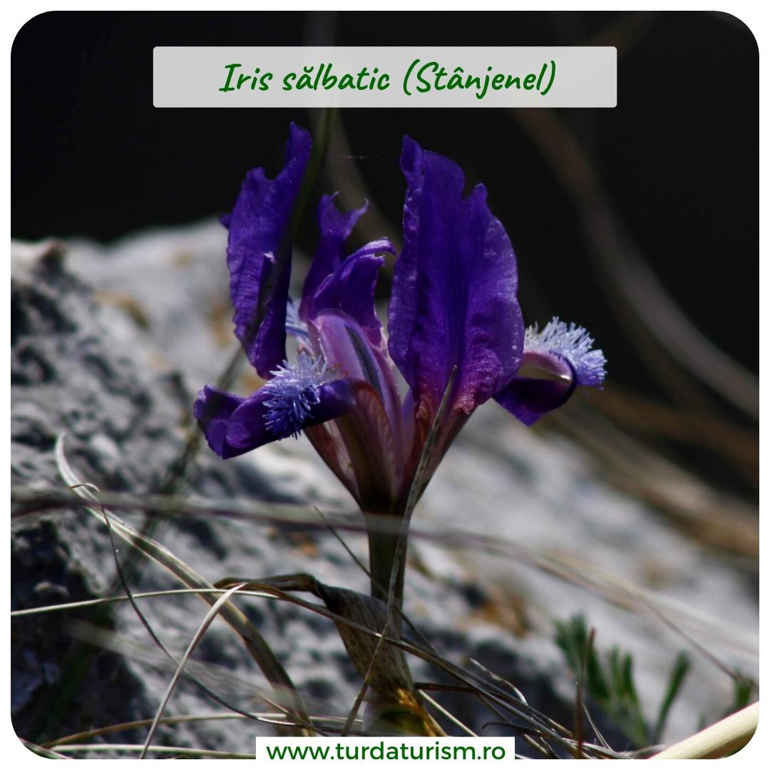 iris salbatic
