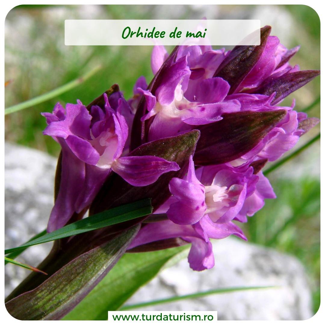 orhidee-mai